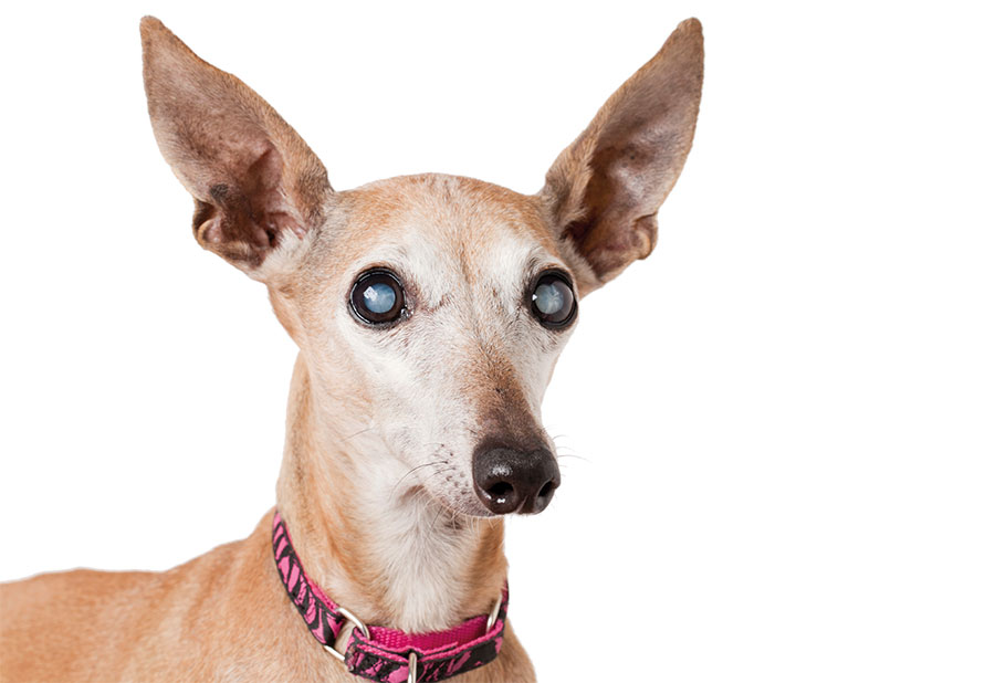 blinderhund