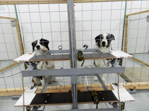 Der Entscheider-Hund (rechts) kann dem Empfänger-Hund (links) ein Leckerli ermöglichen. (Foto: Mylène Quervel-Chaumette/Vetmeduni Vienna)