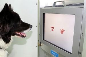 Die Hunde wurden darauf trainiert, mit der Schnauze Symbole auf einem Touchscreen zu berühren. (Foto: Lisa Wallis/Vetmeduni Vienna)