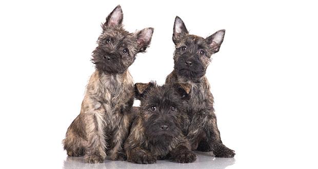Der Cairn Terrier Springinsfeld Mit Eigenem Kopf Your Dog